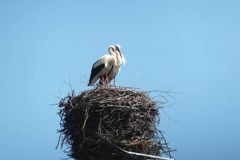 Storks in the nest stock images