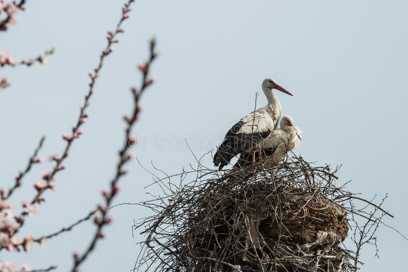 Storks in the nest. stock photography