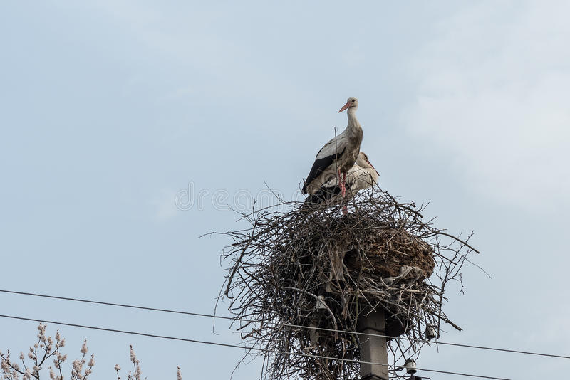 Storks in the nest. royalty free stock photo
