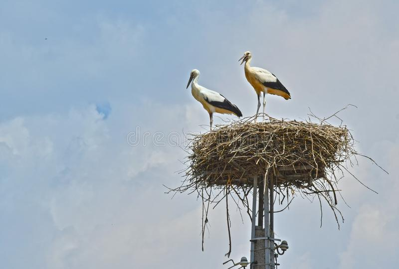 Storks in a Nest stock photo