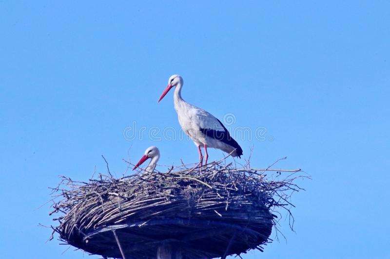 Storks on a pole nest in capelle aan den IJssel in the Netherlands during spring.  stock photography