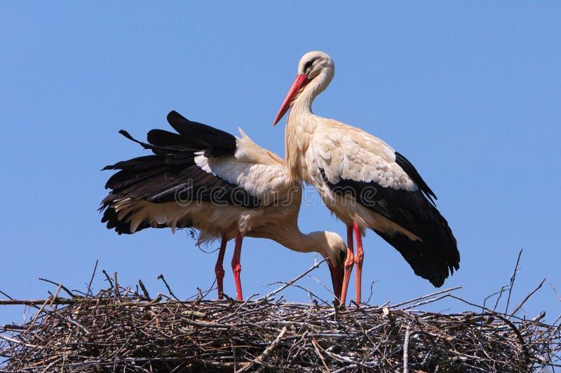 Storks stock photo