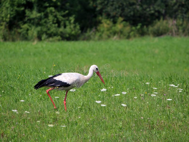 A storksand on the green meadow with white flowers.. Village. Daylight. Summer photography. royalty free stock photography