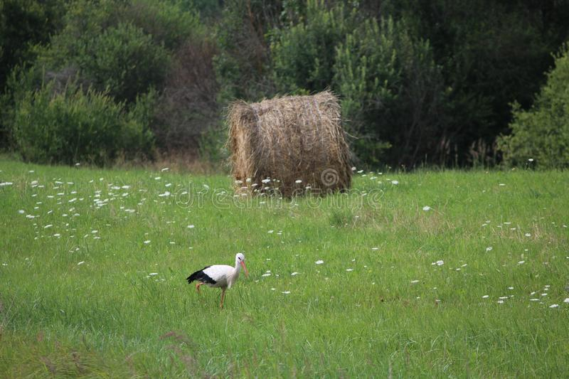 A stork and a haystack. Village. Daylight. Summer photography. royalty free stock photos