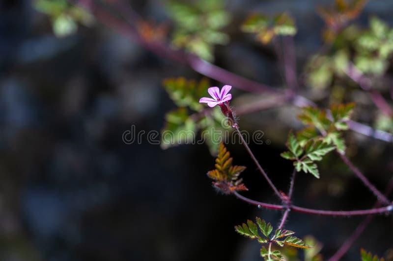 Storksbill花大竺葵robertianum,草本罗伯特 库存照片