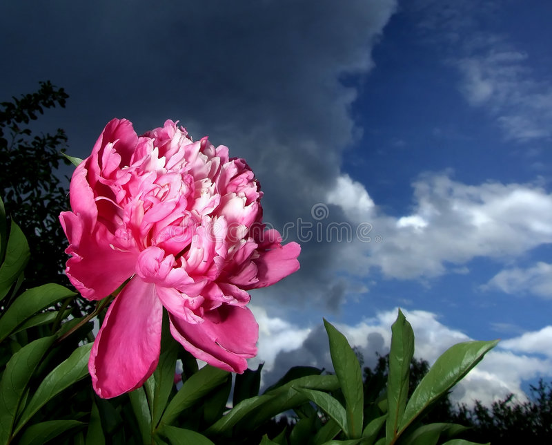 Before the storm. Flower of peony before the storm stock image