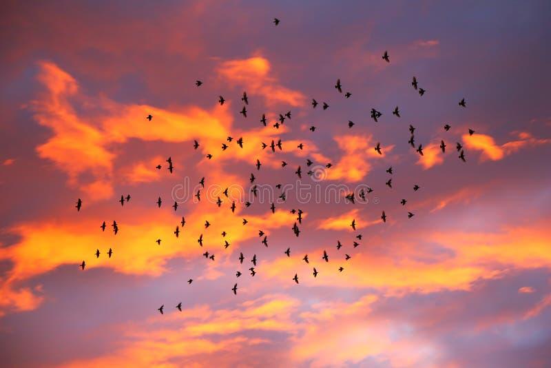 Storm av fåglar på solnedgången, orange moln fotografering för bildbyråer
