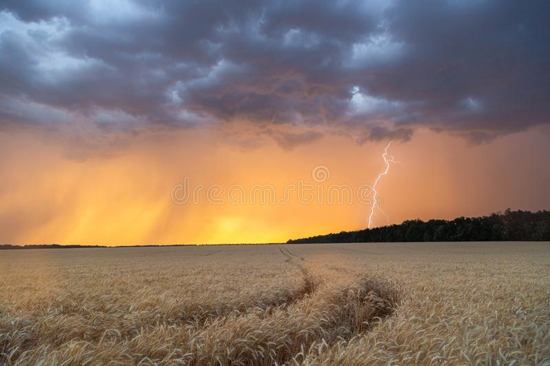 Storm clouds and lightning in the sunset sky over a field of wheat. Evening landscape stock photography