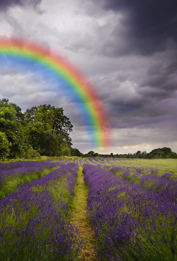 Storm clouds and rainbow over lavender field stock photos