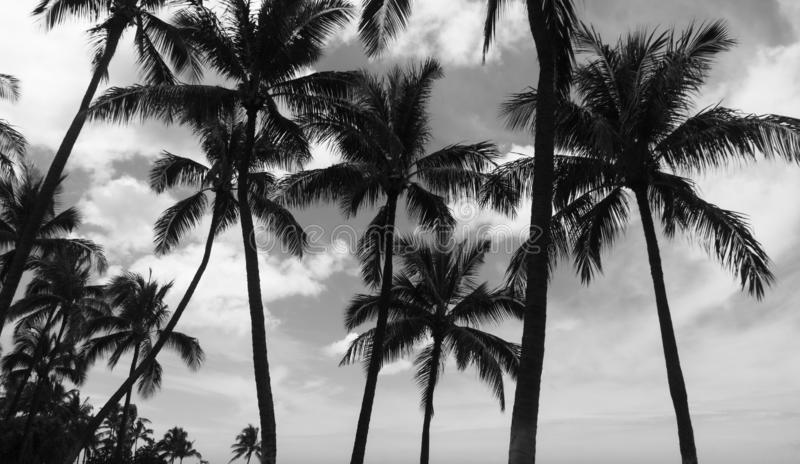Black and White Palm Trees with Storm Clouds royalty free stock image