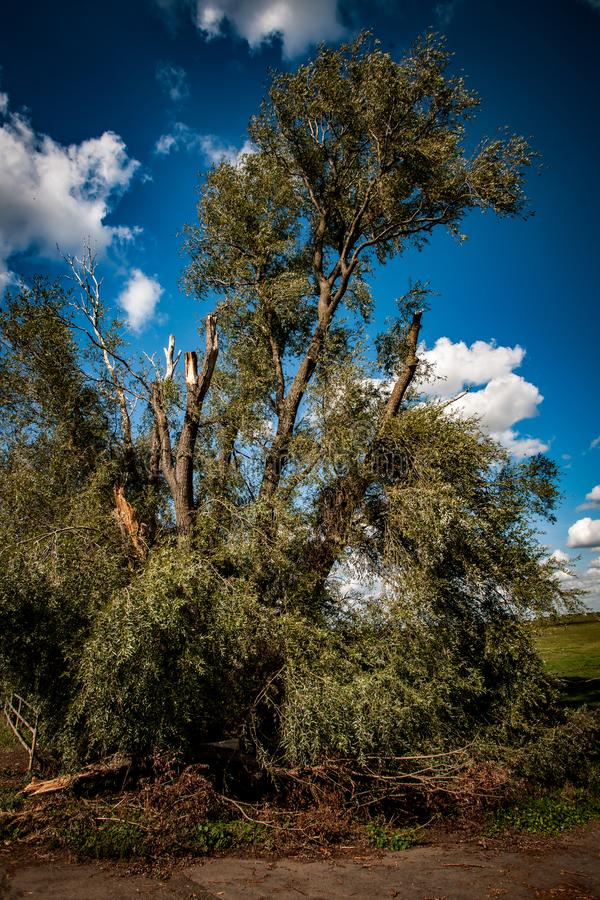 Storm damaged willow tree. Large, mature willow tree showing extensive storm damage with shattered limbs and splintered branches royalty free stock photo