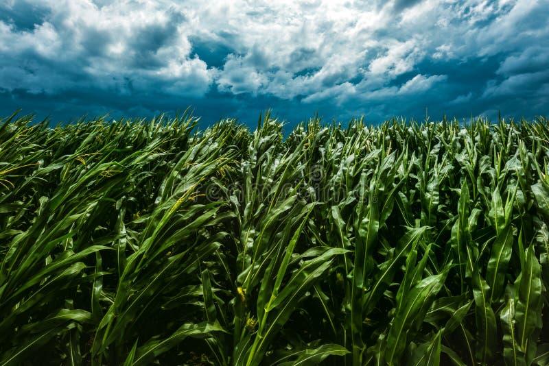 Storm i majsskördfält royaltyfri fotografi