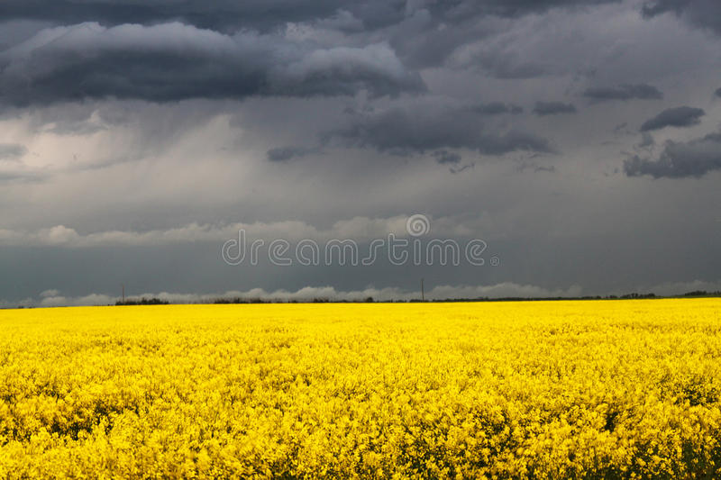 Storm over Canola Field royalty free stock photos