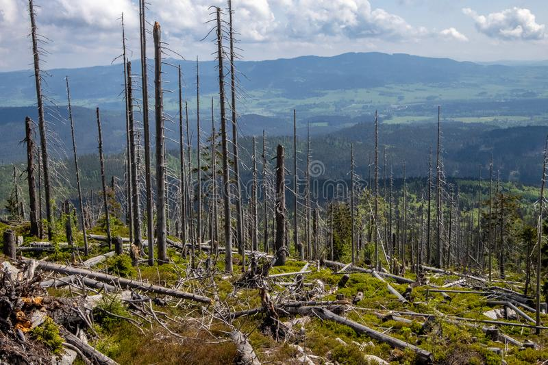 By storm and the sawyer beetle damaged trees stock image