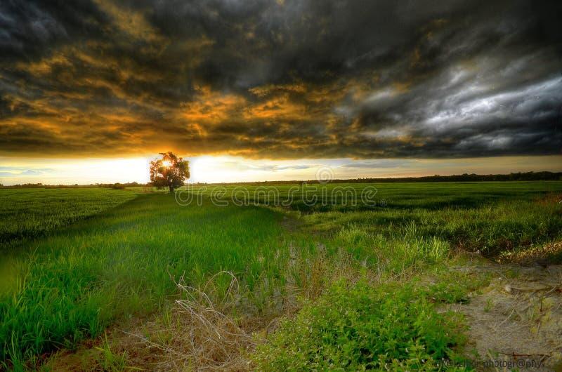 Storma att komma på risfältfältet under solnedgång arkivbilder