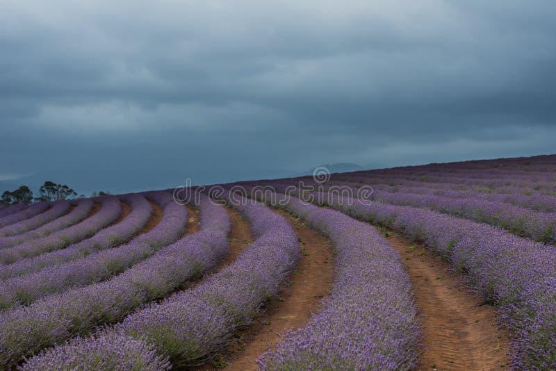 Stormachtige lavendel stock afbeeldingen
