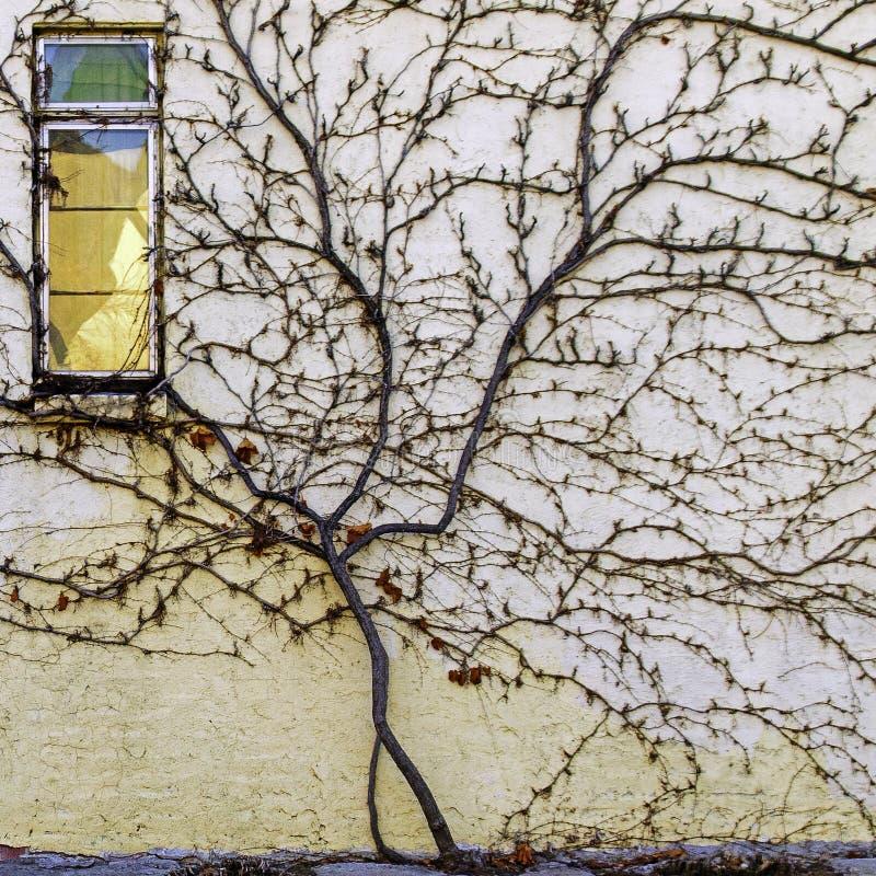 Stormende wijn die de kant opsteekt van een oude stadsmuur stock afbeeldingen