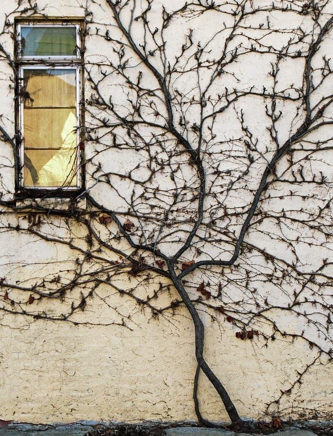 Stormende wijn die de kant opsteekt van een oude stadsmuur royalty-vrije stock afbeelding