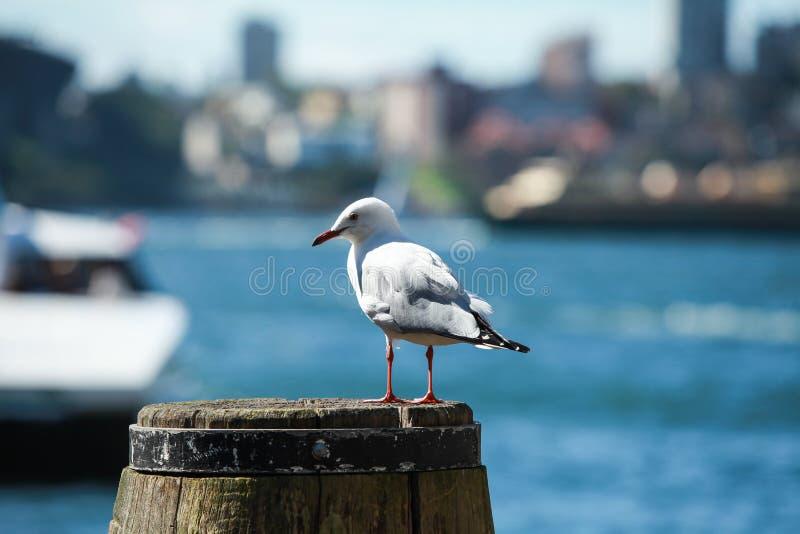 Stormfågel på den Sydney hamnen arkivbilder