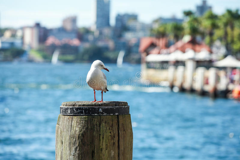 Stormfågel på den Sydney hamnen arkivfoto
