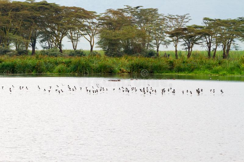Stormi degli uccelli in cratere di Ngorongoro, Serengeti immagine stock libera da diritti