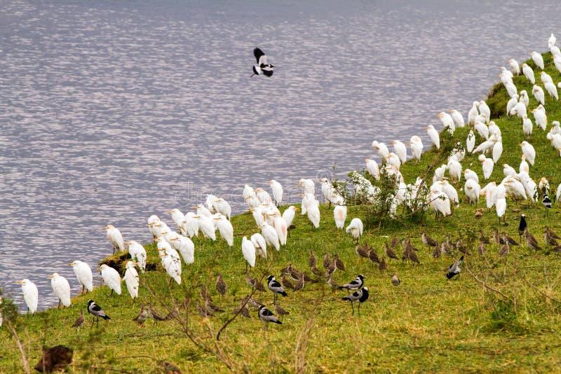 Stormi degli uccelli in cratere di Ngorongoro, Serengeti fotografie stock