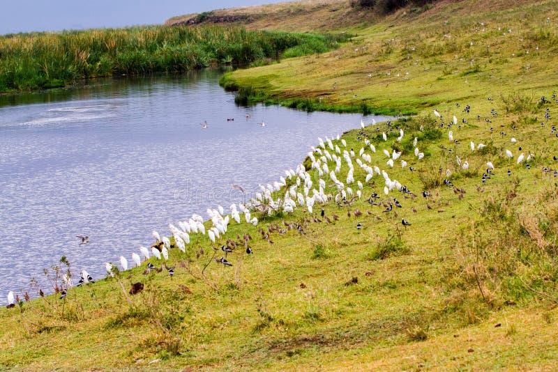 Stormi degli uccelli in cratere di Ngorongoro, Serengeti fotografia stock