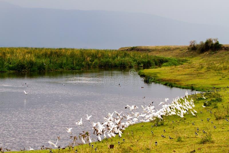 Stormi degli uccelli in cratere di Ngorongoro, Serengeti immagini stock