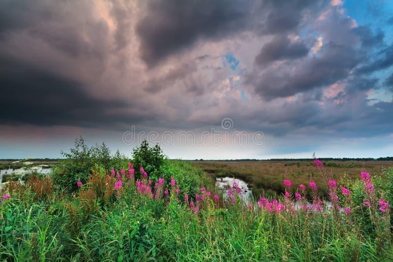 Stormig himmel över träsk med purpurfärgade vildblommor arkivbilder