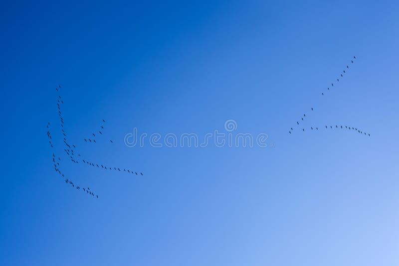 Stormo degli uccelli che ritornano a casa su un fondo di cielo blu immagine stock libera da diritti