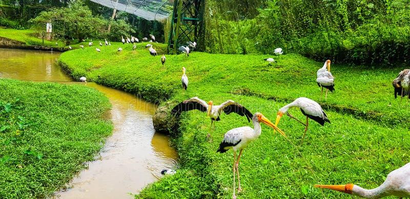 Stormo degli uccelli del fenicottero dentro il parco dell'uccello di chilolitro, Malesia 2017 fotografia stock