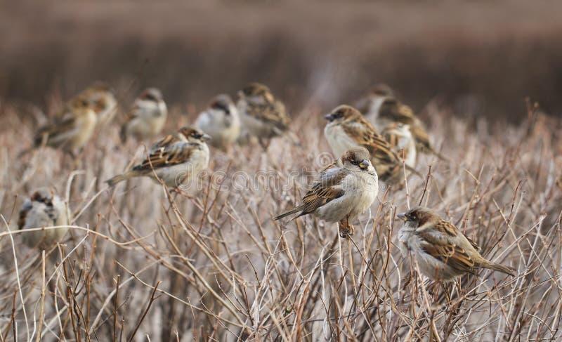 Stormo degli uccelli del passero immagini stock