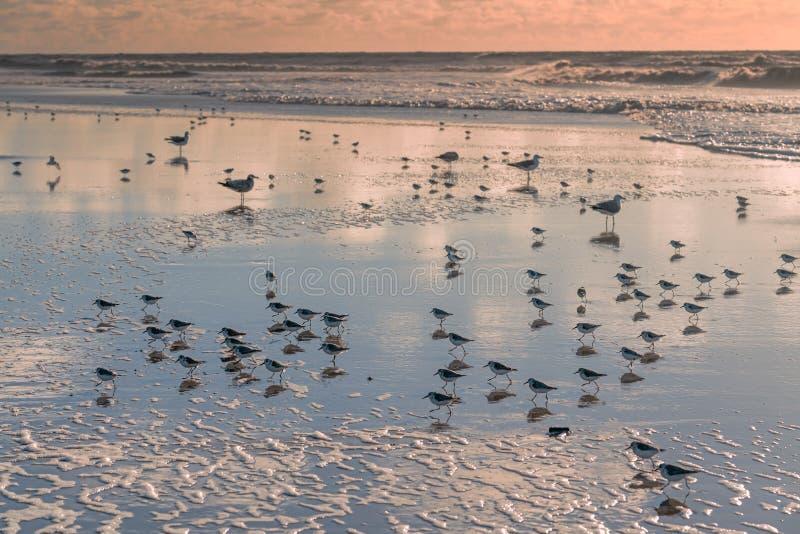 Stormo degli uccelli - pivieri nevosi e gabbiani - sulla spiaggia durante il tramonto immagini stock libere da diritti