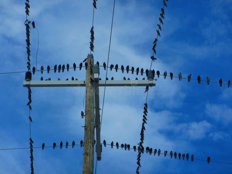 Stormo degli uccelli sull'cavi elettrici