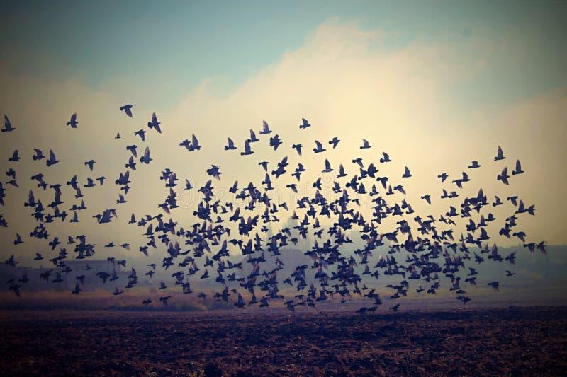 Stormo degli uccelli in un campo in foschia di mattina di autunno fotografie stock libere da diritti