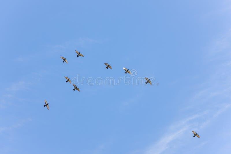 Stormo dei piccioni di volo fotografia stock