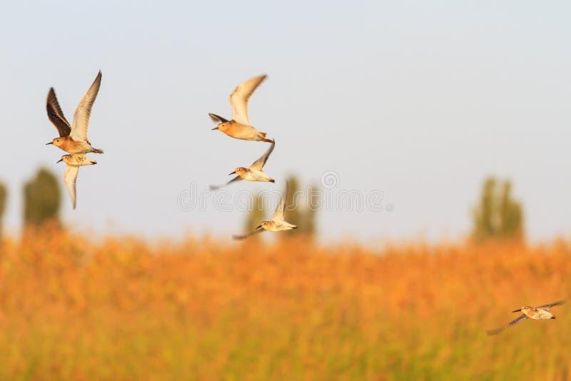 Stormo dei piovanelli che volano ad una bella luce immagini stock