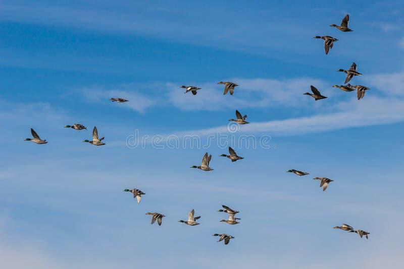 Stormo del volo europeo delle anatre del mallad fotografia stock