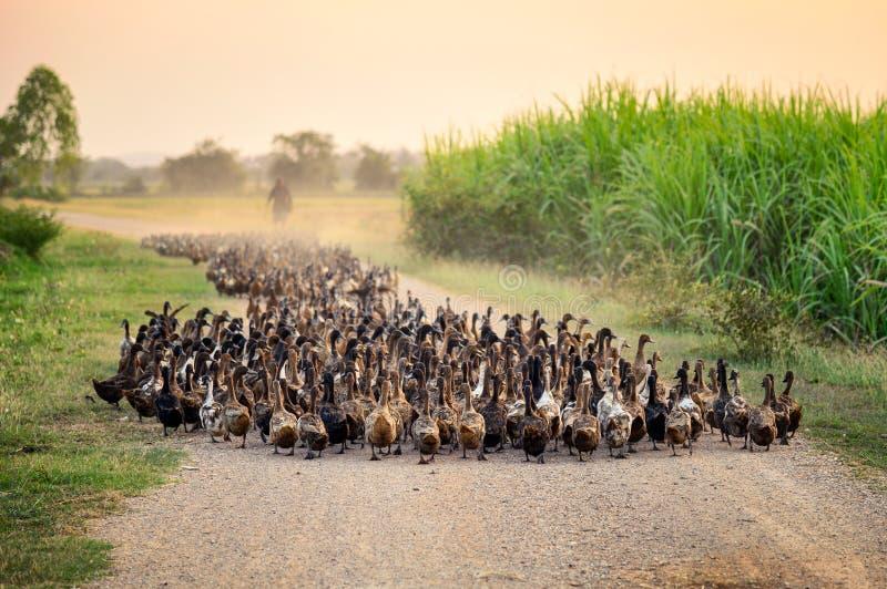 Stormo delle anatre con l'agricoltore che raduna sulla strada non asfaltata fotografia stock libera da diritti
