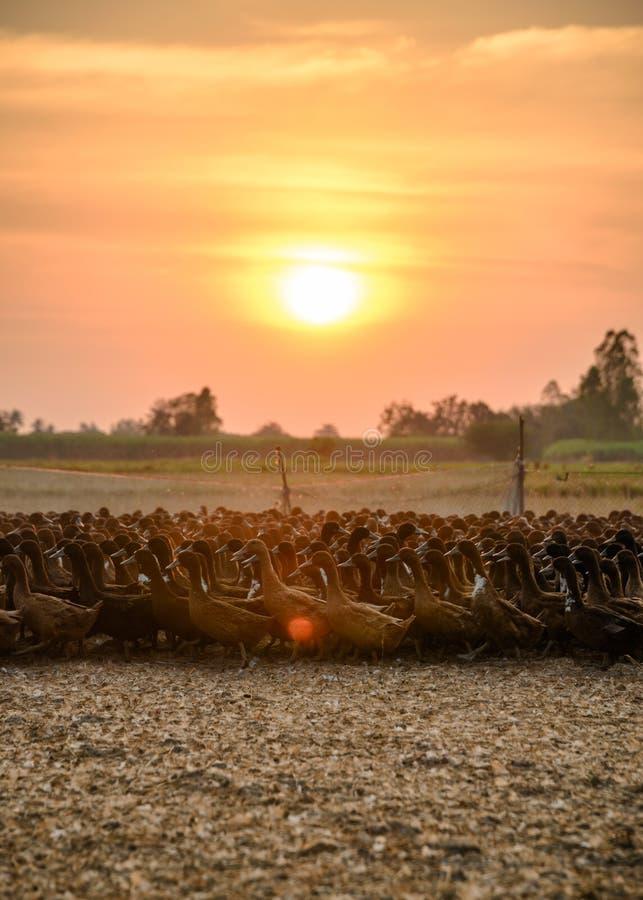 Stormo delle anatre con luce solare che splende nella stalla immagine stock