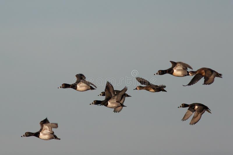 Stormo delle anatre di Ringneck in volo sopra il Mississippi fotografia stock libera da diritti
