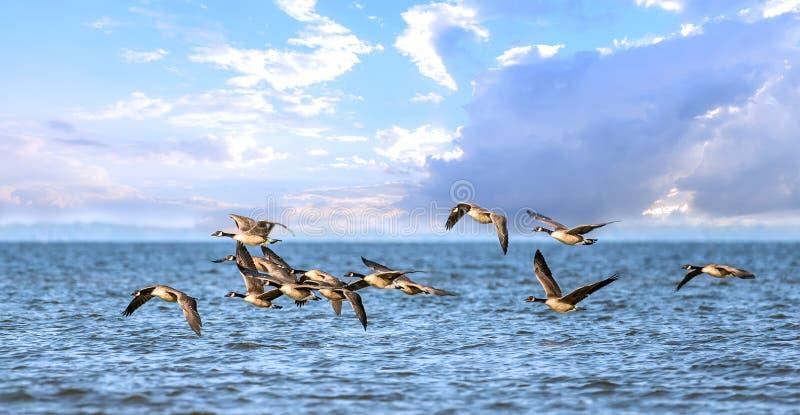 Stormo delle oche del Canada che volano in basso sopra la baia di Chesapeake immagine stock libera da diritti