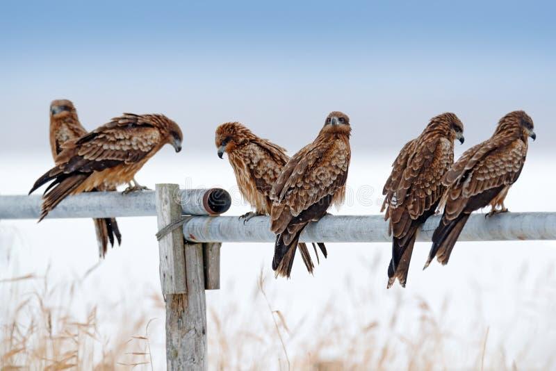Stormo delle rapaci Nibbio, migrans di Milvus, sedentesi sul recinto metallico del tubo con l'inverno della neve Prima neve con l fotografia stock libera da diritti