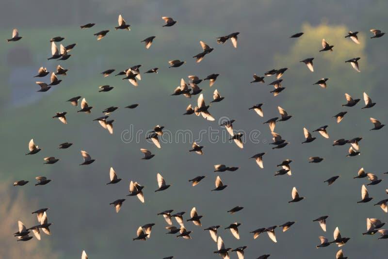 Stormo dello sturnus degli uccelli dello storno vulgaris in lampadina fotografia stock libera da diritti
