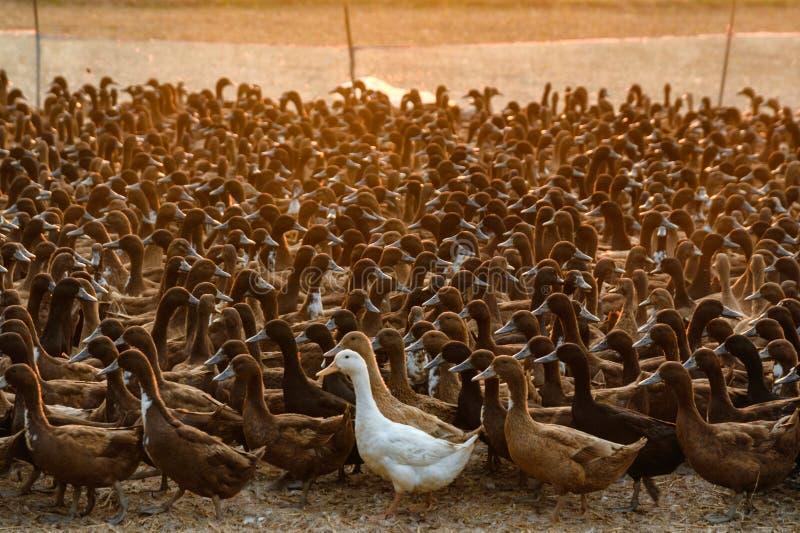 Stormo di agricoltura delle anatre nella stalla fotografie stock libere da diritti