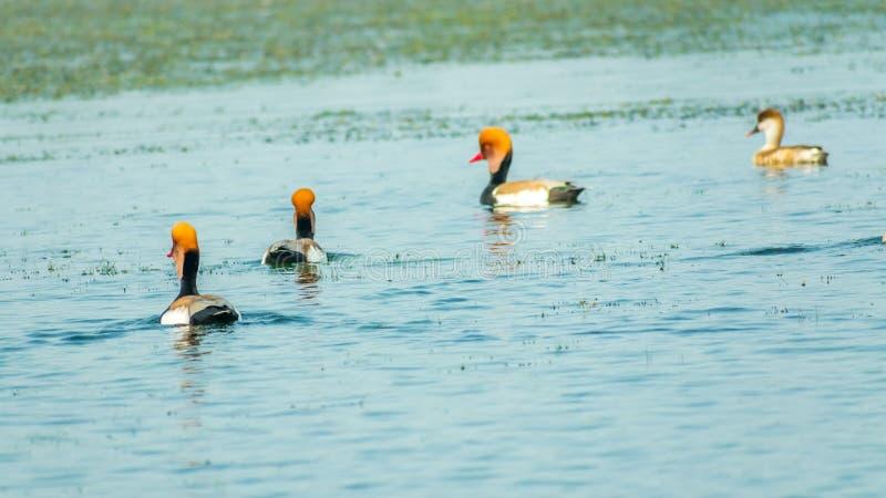 Stormo di nuoto di netta rufina della fistione turco sul santuario di uccello del lago Chilka, Odisha, India immagini stock libere da diritti
