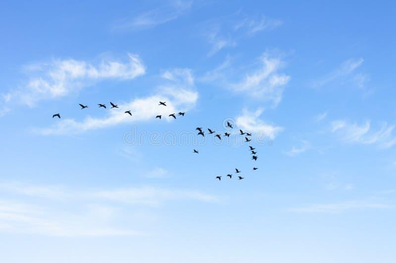 Stormo di volata dei cormorani immagine stock libera da diritti
