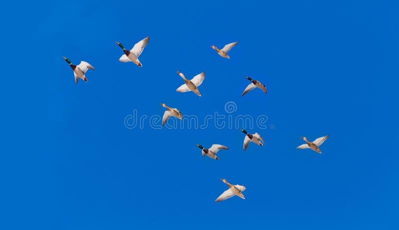 Stormo di volata di platyrhynchos di anas delle anatre di Mallard fotografia stock libera da diritti