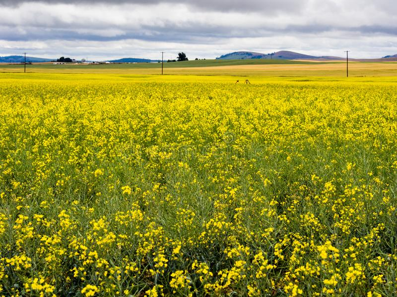 Blooming canola fields in Washington state, USA. Stormy clouds over canola fields in Eastern Washington state, USA royalty free stock photo