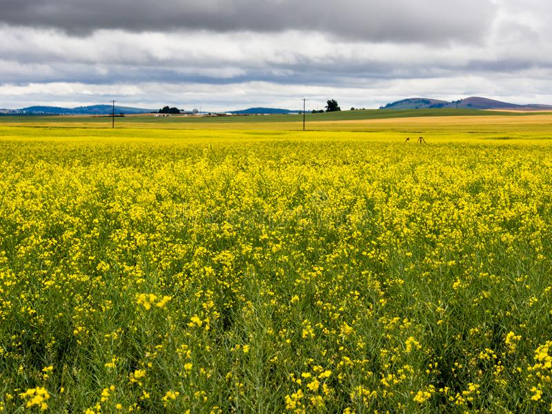Blooming canola fields in Washington state, USA. Stormy clouds over canola fields in Eastern Washington state, USA royalty free stock photos